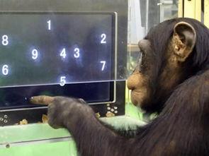 金木研壁纸-...式的认知实验,图片来自The Independent.-神奇手语猩猩 背后真相 ...