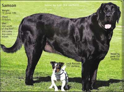 英国猛犬大如马 后腿直立时高达1.97米