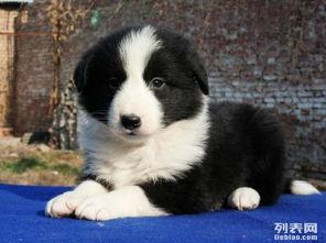 重庆哪里能买到纯种健康的边境牧羊犬 黑白色边牧多少钱一只