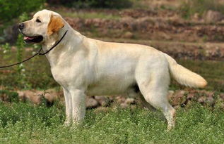 金毛犬和拉布拉多的区别