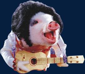 对猪弹吉他
