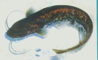 鯰魚可以做風水畫嗎