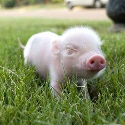 属猪的今天桃花运如何