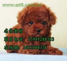 宠物狗广州哪里有卖泰迪熊宠物狗首选名仕狗场专业出售