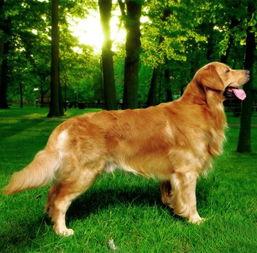 最全的狗狗智商排名,1 79名全集,第27名那个太强了