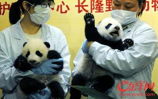 广东再添一对熊猫双胞胎