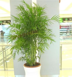 鳳尾竹的作用風水擺放