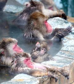 表情 日本雪猴冬日泡温泉 表情享受至极 天津在线 表情