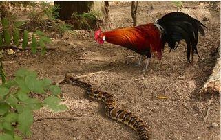 风水鸡和蛇斗架