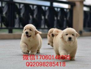 沈阳哪里有金毛犬出售 最好的纯种金毛价格 哪里出售金毛便宜