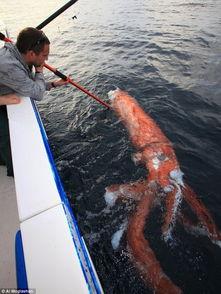 澳洲渔民拍到鲨鱼吞噬巨型鱿鱼尸体瞬间