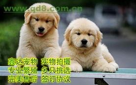 北京金毛犬 北京金毛犬价格 北京金毛犬转让 出售信息
