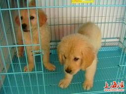 上海哪里出售大头金毛上海哪里买卖金毛公母都有健康保证