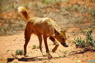 澳洲野狗育儿