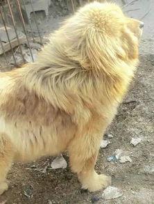 藏獒和金毛的混血,成了村子的金毛狮王....