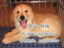 广州哪里有金毛 广州边度有卖金毛 广州纯种金毛图片 高清图片 高清大图 广州到哪里买宠物狗广州优宠有卖宠物狗