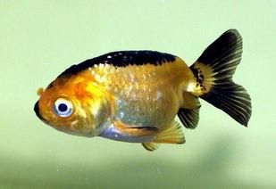 老头鱼的习性介绍
