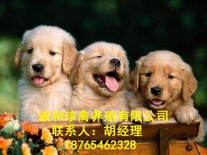 济南金毛犬哪里卖的出售价格优惠咨询诚和珍禽养殖