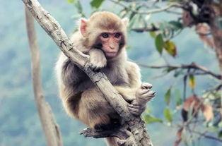 关于猴子知识大全(求猴子的有关知识..)