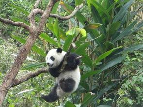 台北大熊猫 圆仔 爱玩树上倒挂 游客捏冷汗