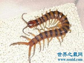 世界上最大蜈蚣 最长竟可达62cm 2