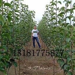 【梨树苗订购玉露香梨种类特点】- 黄页88网
