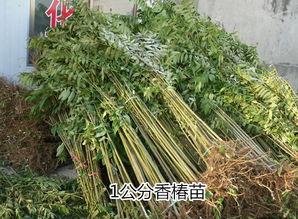 如何管理好大棚香椿苗 泰安伟业基地专业种植