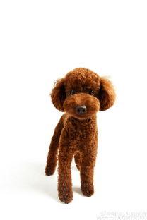 你知道吗,泰迪不是犬种名称