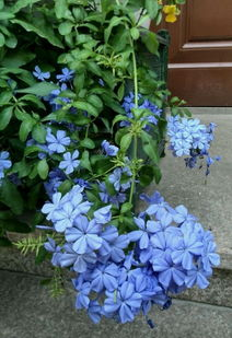 家養花開花的