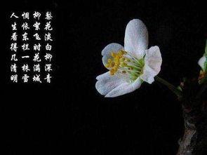 写有关梨花的诗句有哪些