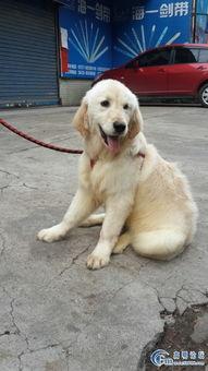 出售 五个月大的 金毛 母 1000元 宠物情缘