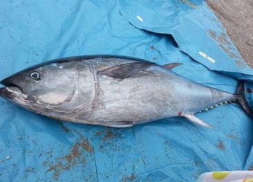 金枪鱼稀缺程度达警戒水平 渔业部门吁停捕杀 4