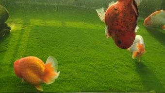 红鱼(红鱼吃什么?)