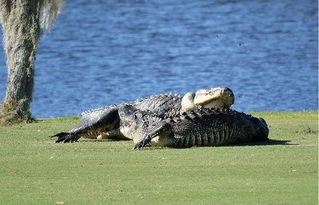 美两巨鳄高尔夫球场 厮杀 场面无比震撼