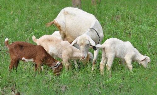 狗羊的运势及运程