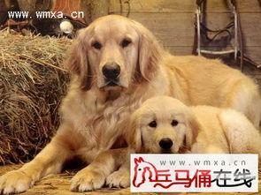 金毛幼犬训练教程