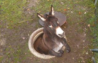 瑞士动物园 越狱驴子 街上乱晃掉落 人孔 受困
