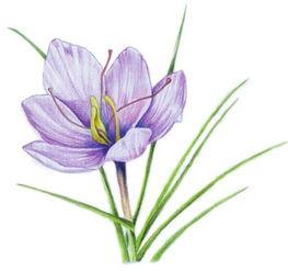 水粉画花卉画入门 番红花的绘画步骤教程 2