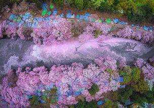 日本沉浸一片粉红 又是一年春樱盛开时