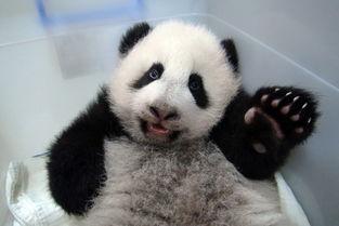 熊猫 圆仔 2013,我在台北挺好的