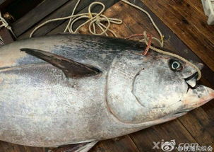 金枪鱼有哪些功效与作用
