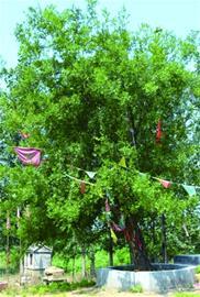 酸枣树的成长作文