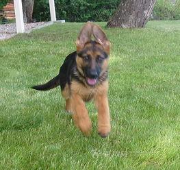 招远 昆明犬的 黑背牧羊犬价格.东德牧羊犬多少钱一只