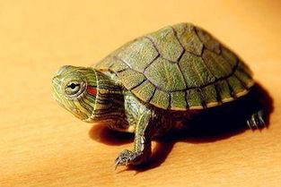 带乌龟手串风水禁忌