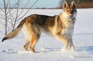 世界上最贵的10种狗,哈士奇,金毛,泰迪没有上榜,第一名竟然是它 搜狐宠物 搜狐网