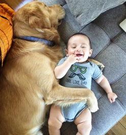 大金毛Arlo是个名副其实的大暖汪图片第25276张 狗狗宝贝图片