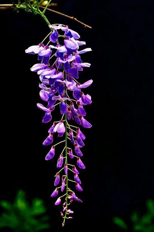 关于描写紫藤花的诗句