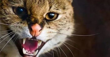 猫咪张嘴的大全