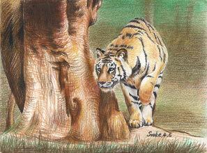 每周一动物 7 油性彩铅速写 老虎 绘画素材取自网络摄影图片