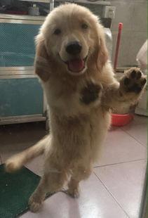 出售家养小金毛,两个月大,一公一母 宠物情缘